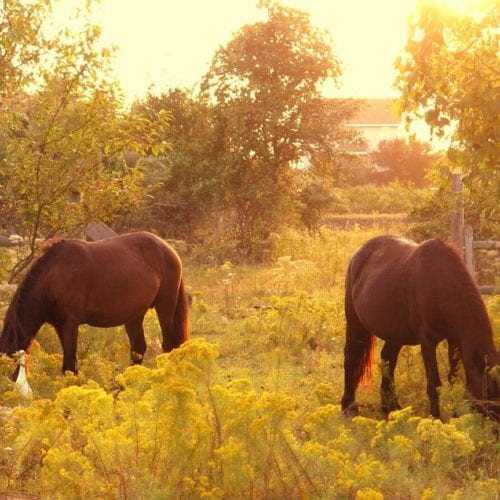two wild mustangs