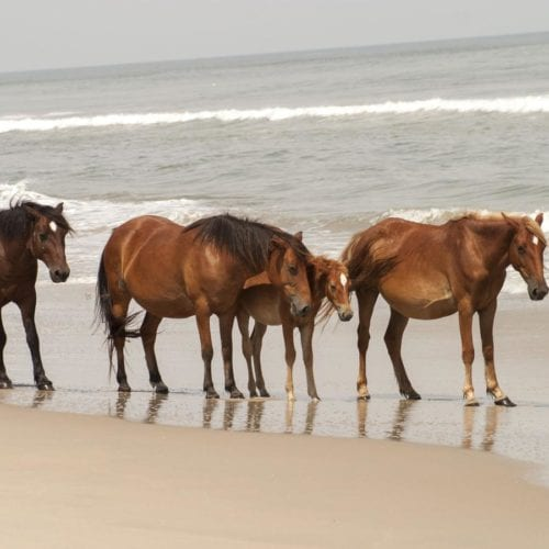 wild corolla mustangs on the beach