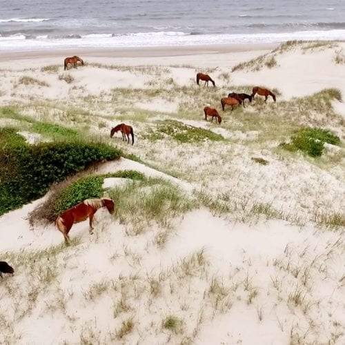 wild spanish mustangs in the dunes
