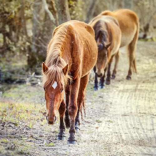 wild mustangs walking