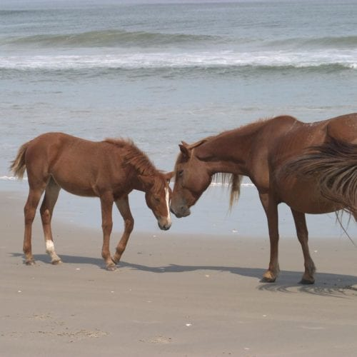 wild corolla horses on beach